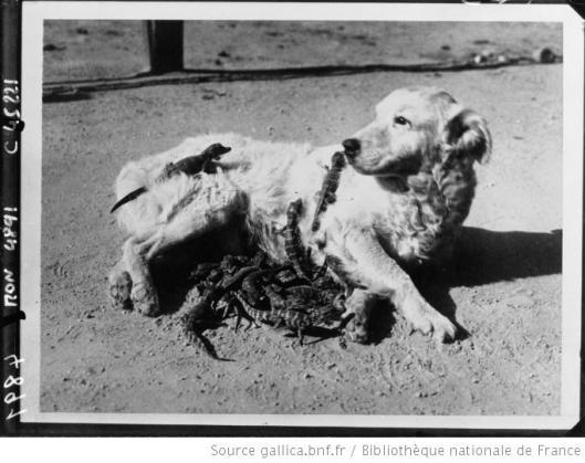 Acmé, La chienne Rover allaitant de petits aligators à la ferme des aligators à Los Angeles, 1932, Gallica/BnF